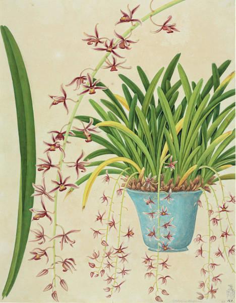Cymbidium Photograph - Orchid (cymbidium Aloifolium) Plant by Natural History Museum, London/science Photo Library