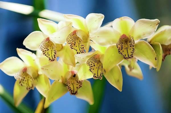 Cymbidium Photograph - Orchid (cymbidium) by Maria Mosolova/science Photo Library