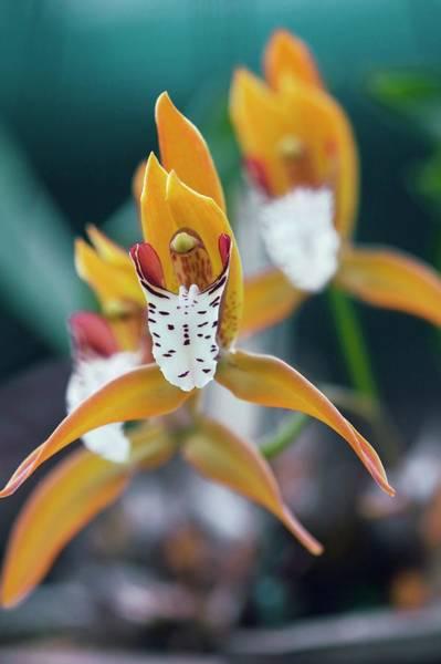 Cymbidium Photograph - Orchid (cymbidium Tigrinum) by Sam K Tran/science Photo Library