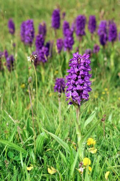 Northern Scotland Wall Art - Photograph - Orchid (dactylorhiza Purpurella) by Duncan Shaw/science Photo Library