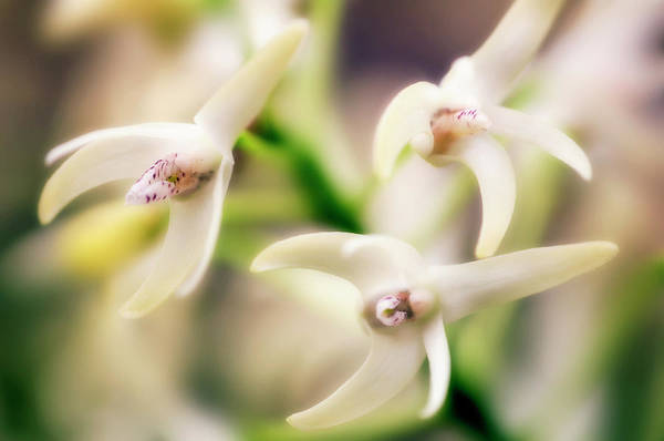 Wall Art - Photograph - Orchid (dendrobium Speciosum) by Maria Mosolova/science Photo Library