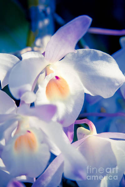 Photograph - Orchid Dreams by Sharon Mau