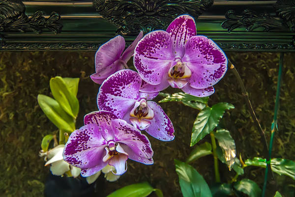 Photograph - Orchid Flowers Growing Through Old Wooden Picture Frame by Alex Grichenko