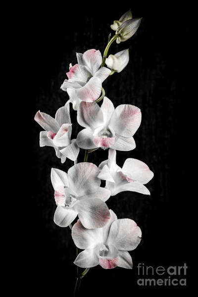 Photograph - Orchid Flowers On Black by Elena Elisseeva