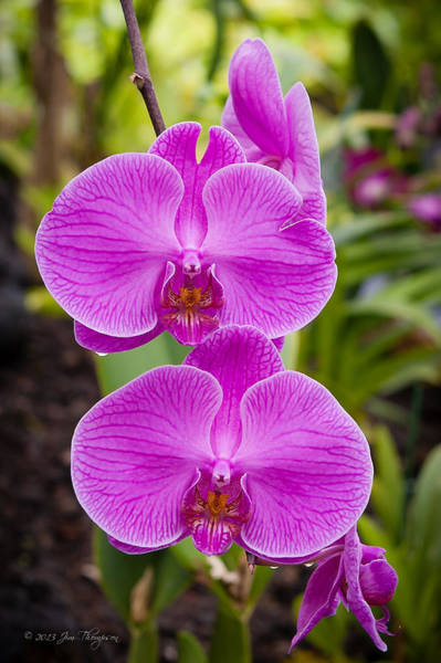 Photograph - Orchid by Jim Thompson