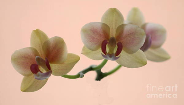 Photograph - Orchid by Jeremy Hayden