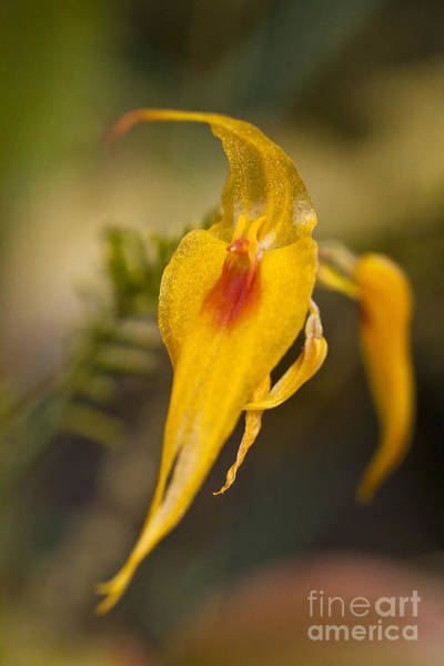 Photograph - Orchid - Lepanthes Maxonii by Heiko Koehrer-Wagner