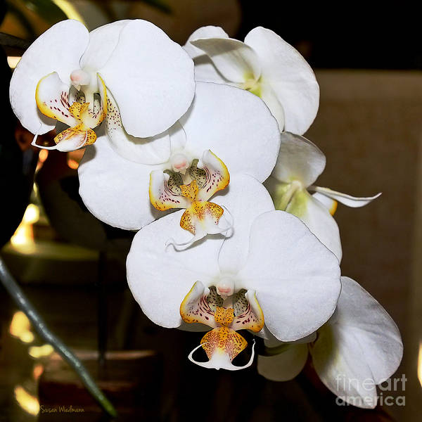 Photograph - Orchid Phalaenopsis Dutch Lady by Susan Wiedmann