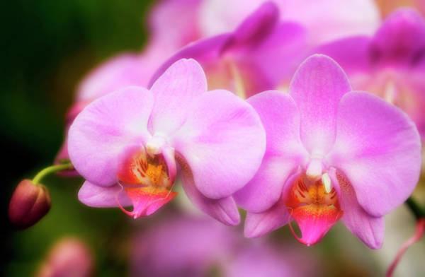 Hybrid Photograph - Orchid (phalaenopsis Hybrid) by Maria Mosolova/science Photo Library