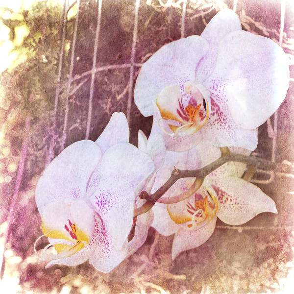 Photograph - Orchid - Phalaenopsis by Julia Springer