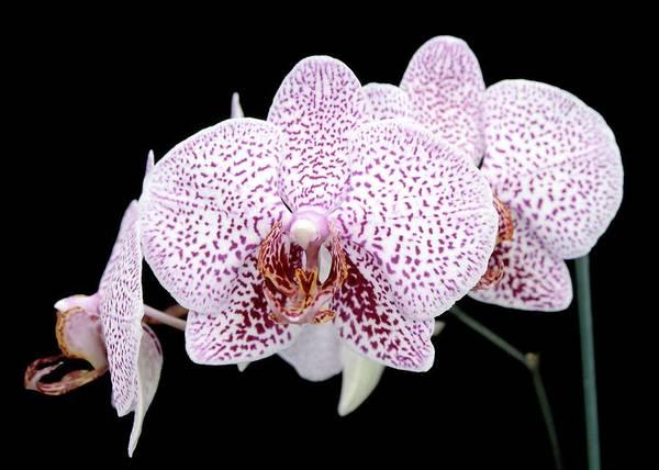 Monet Photograph - Orchid (phalaenopsis Matmiva 'monet') by Neil Joy/science Photo Library