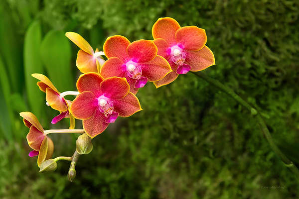 Photograph - Orchid - Phalaenopsis - Tying Shin Cupid by Mike Savad