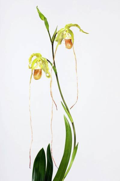 Wall Art - Photograph - Orchid (phragmipedium Sp.) by Pascal Goetgheluck/science Photo Library