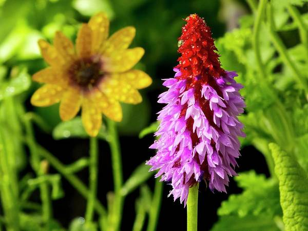 Red-hot Poker Photograph - Orchid Primrose (primula Vialii) Flowers by Ian Gowland