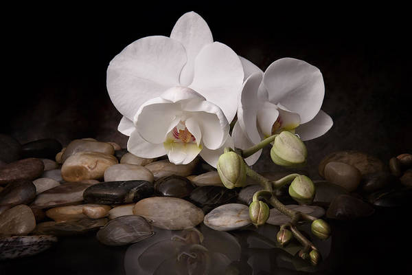 Stone Wall Art - Photograph - Orchid - Sensuous Virtue by Tom Mc Nemar