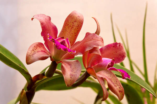 Photograph - Orchid - Tickled Pink  by Mike Savad