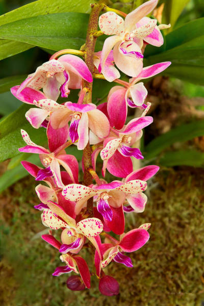 Photograph - Orchid - Tropical Delight by Mike Savad