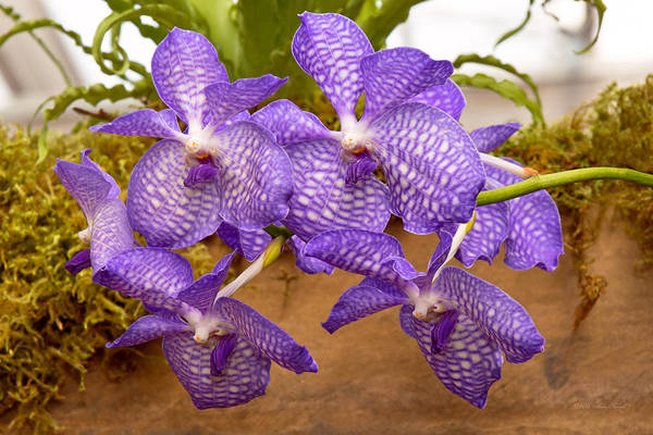 Photograph - Orchid - Vanda Sansai Blue by Mike Savad