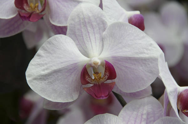Photograph - Orchid With A Hint Of Purple by Penny Lisowski