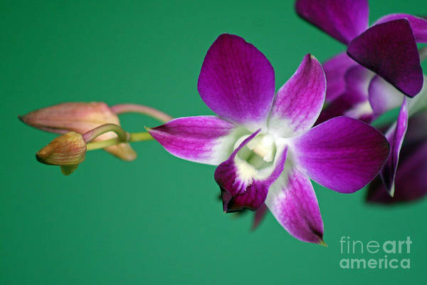 Photograph - Orchid With Green Background by Karen Adams