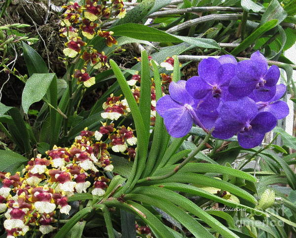 Photograph - Orchids-1 by Kathie Chicoine