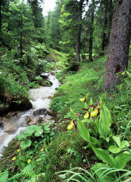 Lady Slipper Photograph - Orchids Beside A Woodland Stream by Bob Gibbons/science Photo Library