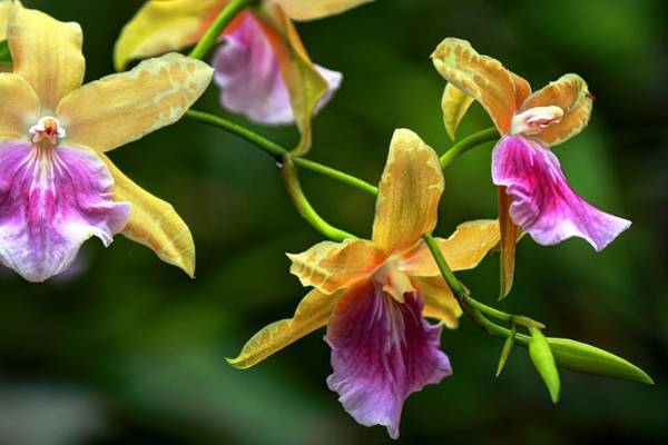 Photograph - Orchids by Carol Montoya