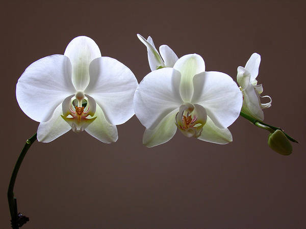 Photograph - Orchids Illuminated by Juergen Roth