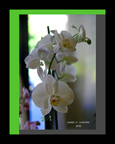 Digital Art - Orchids In Captivity by Joseph Coulombe
