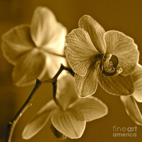 Photograph - Orchids In Sepia by Carol Groenen