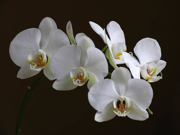 Photograph - Orchids by Juergen Roth