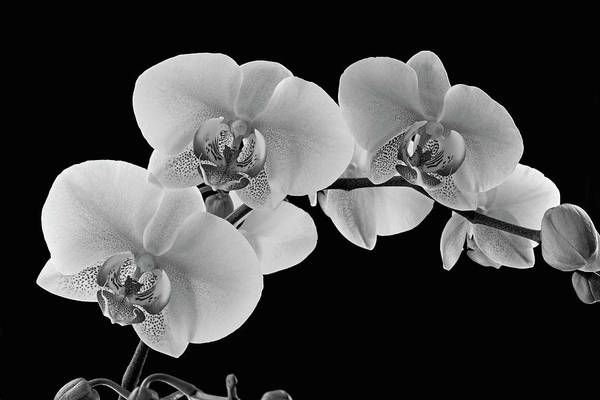 Wall Art - Photograph - Orchids On A Black Background by David Chapman