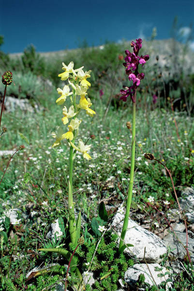 Orchis Photograph - Orchids by Paul Harcourt Davies/science Photo Library