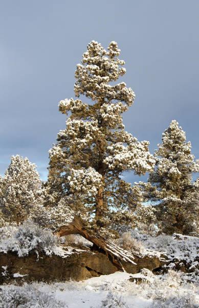 Photograph - Oregon Juniper Trees by Chris Scroggins