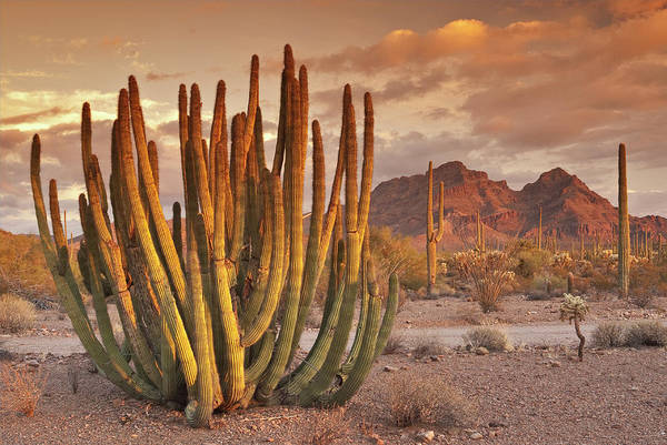 Sonoran Desert Photograph - Organ Pipe Cactus And Saguaros At Ajo by Witold Skrypczak