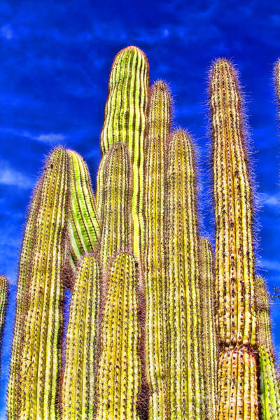 Photograph - Organ Pipe Cactus Arizona By Diana Sainz by Diana Raquel Sainz