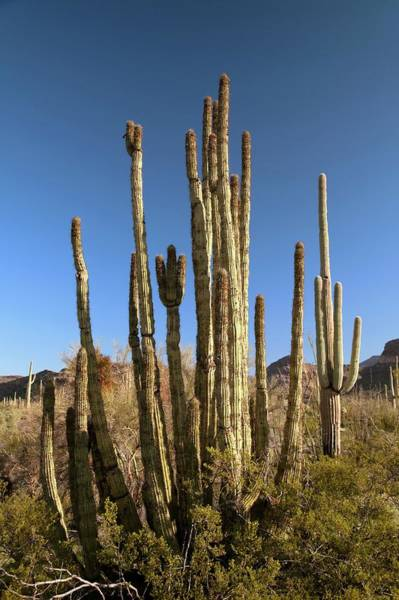 Pipe Organ Wall Art - Photograph - Organ Pipe Cactus by Jim West