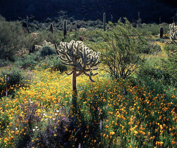 Cylindropuntia Bigelovii Photograph - Organ Pipe Cactus National Monument by Christopher Talbot Frank