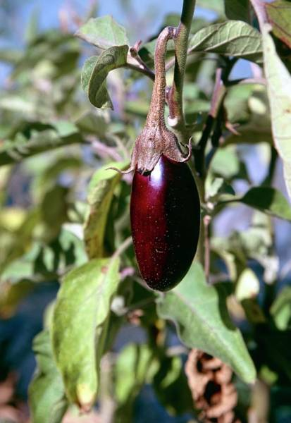 Aubergine Wall Art - Photograph - Organic Aubergine Plant by Antonia Reeve/science Photo Library