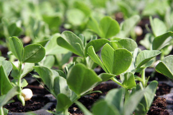 Row Crops Photograph - Organic Bean Seedlings by Cordelia Molloy/science Photo Library