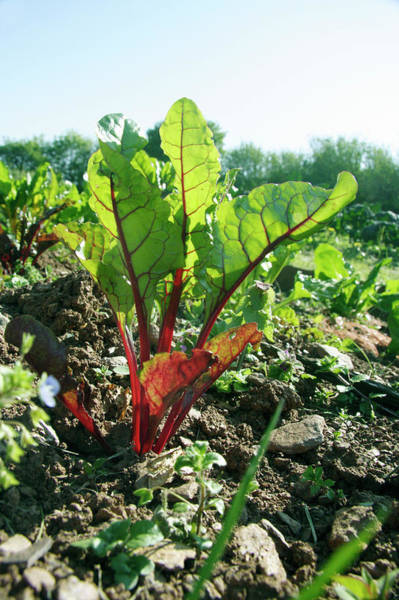 Perpetual Photograph - Organic Chard by Cordelia Molloy/science Photo Library