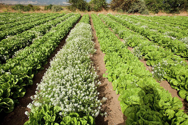 Row Crops Photograph - Organic Lettuce Farming by Stephen Ausmus/us Department Of Agriculture/science Photo Library