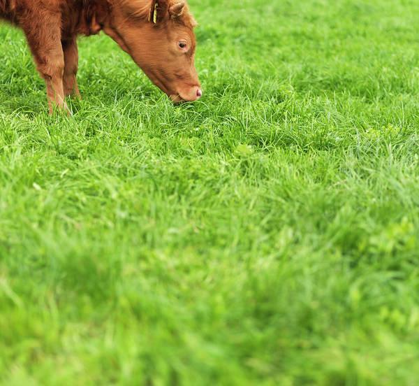 Grazing Photograph - Organically Raised Calf Grazing On Lush by Mecky