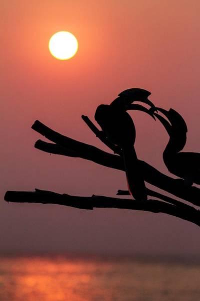 Southeast Asia Wall Art - Photograph - Oriental Pied Hornbills by Paul Williams