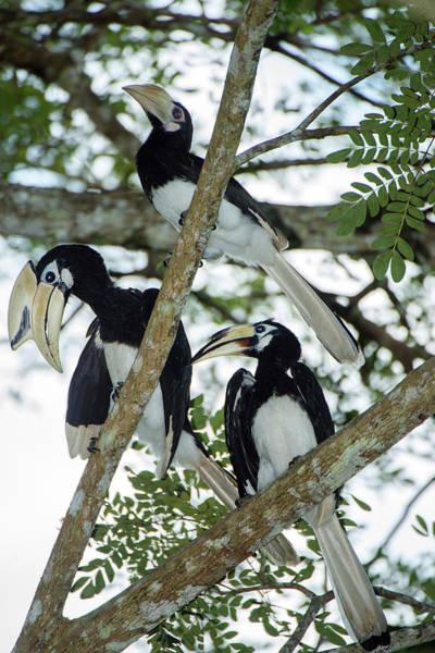 Hornbill Photograph - Oriental Pied Hornbills by Scubazoo/science Photo Library