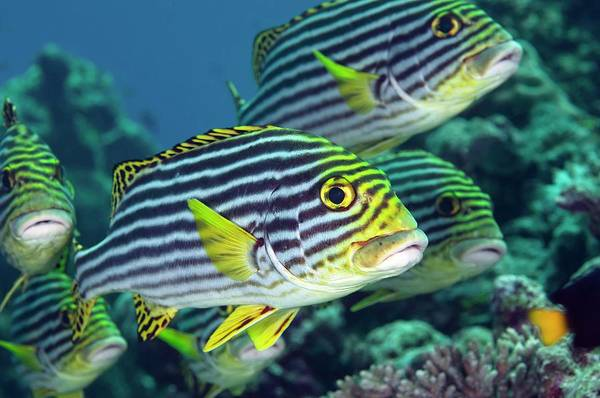 The Maldives Photograph - Oriental Sweetlips by Scubazoo/science Photo Library