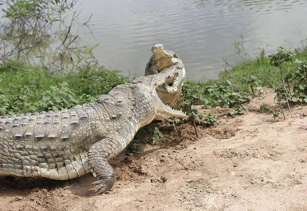 American Crocodile Photograph - Orinoco Crocodile Fight by M. Watson