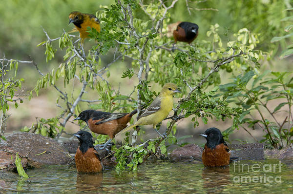 Icterid Photograph - Orioles At The Pool by Anthony Mercieca