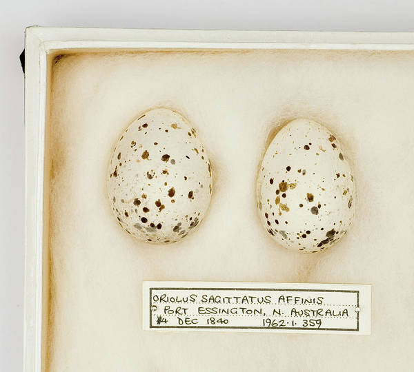 Passeriformes Photograph - Oriolus Sagittatus Affinis Eggs by Natural History Museum, London