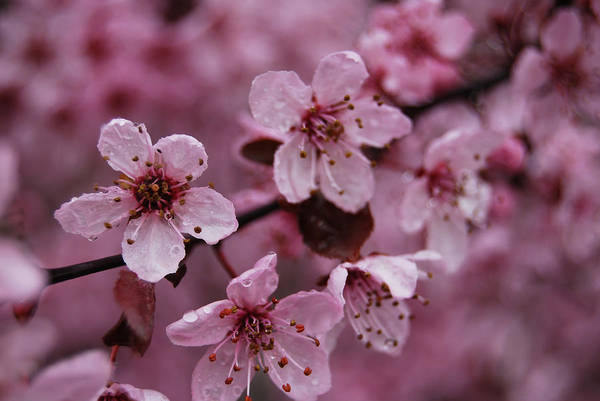 Photograph - Ornamental Cherry Tree - Blossoms by Jani Freimann